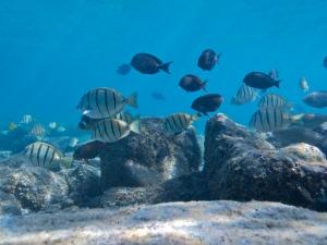 Fishes along Big Island's Kona Coast (c) 2011 Ret Talbot
