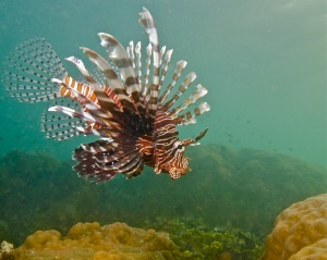 Indo-Pacific Lionfish in Indo-Pacific