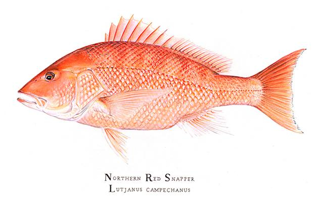 Red Snapper by Karen Talbot