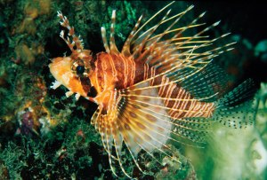 The small Mombasa lionfish (Pterois mombassae) will no longer be legal to import to Florida beginning 1 August.