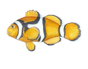 The Orange or Percula Clownfish (A. percula) is one Step Closer to ESA Listing Today. [Illustration courtesy of Karen Talbot www.KarenTalbotArt.com)