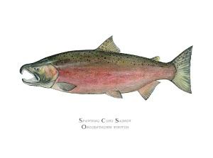 Spawning Coho Salmon | Original Artwork by Karen Talbot www.KarenTalbotArt.com