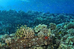 Swarms of butterflyfishes, tangs, and other reef fishes appeared throughout Hawaii. (Image: Pauline Fiene)