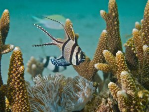 A Banggai Cardinalfish in the Banggai Islands | Source: Ret Talbot