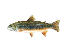Brook trout are one of the most important New England natives