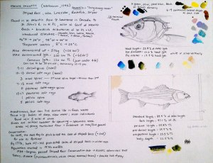 striped bass study