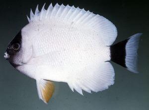 Masked Angelfish J.E. Randall