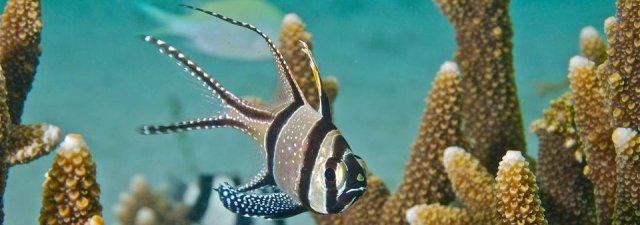 Banggai Cardinalfish Cropped