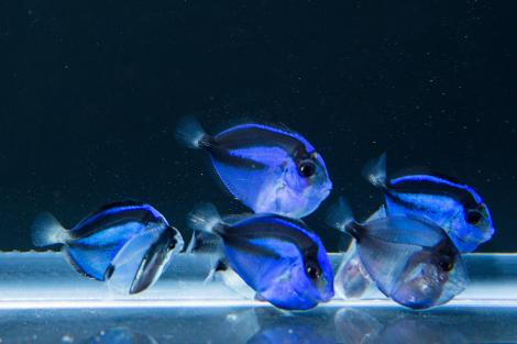 These blue tangs at the University of Florida's Tropical Aquaculture Lab in Florida are among the first 27 to be bred in captivity.  PHOTOGRAPH BY TYLER JONES.