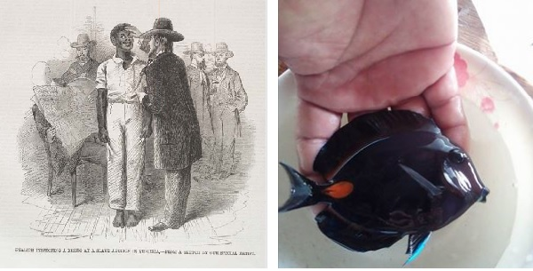 Left: 1861 sketch in The Illustrated London News ; Right : 2016 photograph on High-End Saltwater Fish and Coral Facebook page.