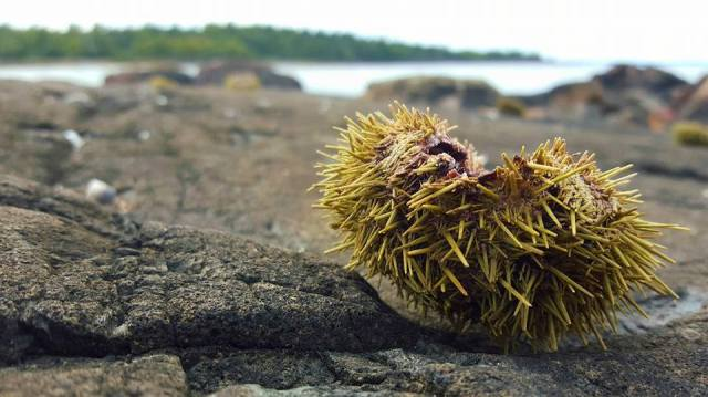 sea-urchin-north-haven