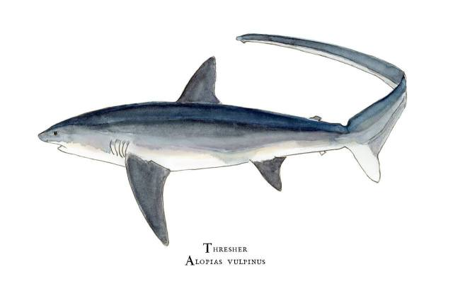thresher-shark