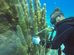 paul chin gc doe biologist salvaging disease pillar coral